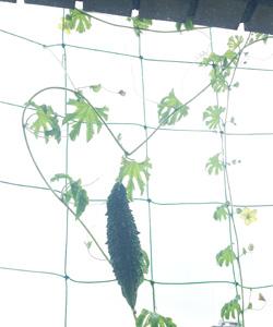 ゴーヤベランダ菜園