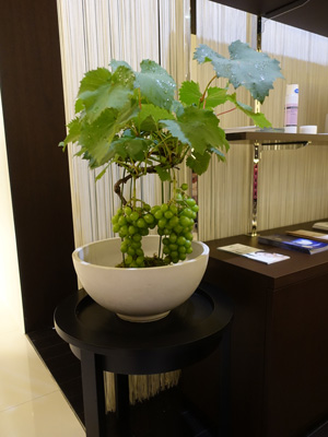 ブドウの盆栽