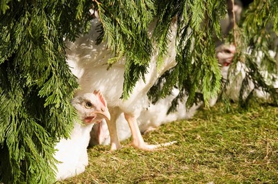 美しい生き物鶏