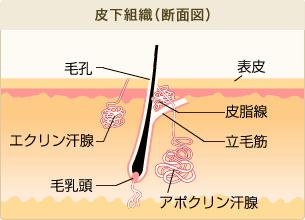 ワキ多汗症ボトックスで汗を抑制。汗腺のイラスト